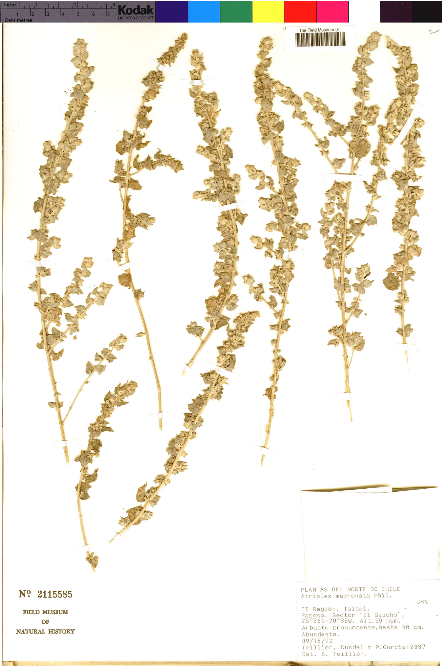 Atriplex mucronata image
