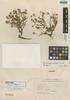 Senecio geniculipes Cuatrec., PERU, C. Vargas C. 6650, Holotype, F