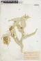 Cirsium douglasii var. breweri image