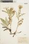 Cirsium hookerianum image