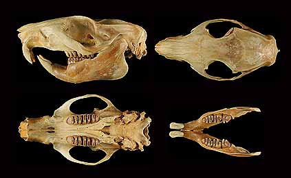 Bugkun, southern Luzon giant cloud rat. (c) The Field Museum. Photograph by R Banasiak. (c) Field Museum of Natural History - CC BY-NC