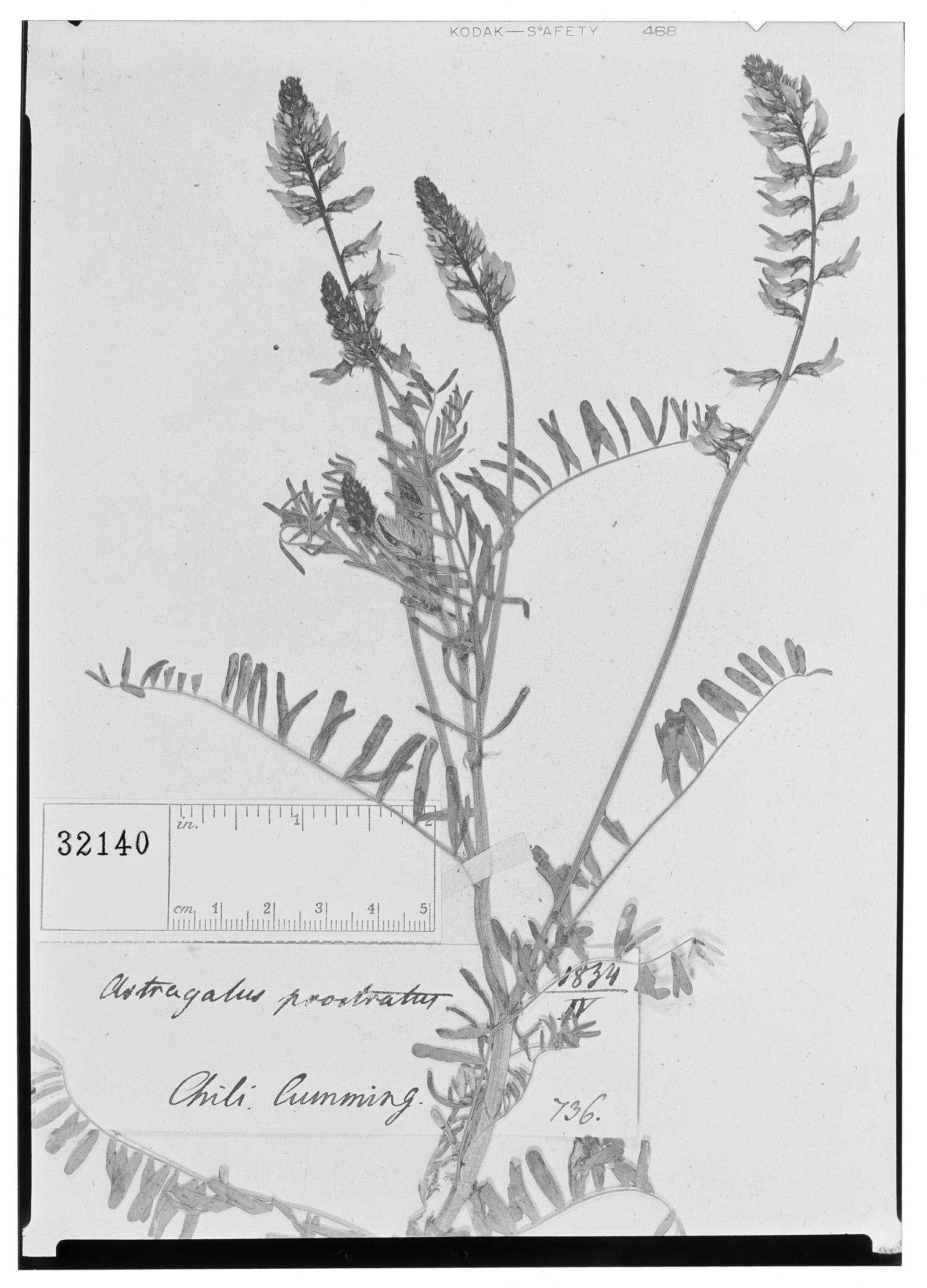 Astragalus prostratus image