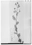 Field Museum photo negatives collection; Wien specimen of Waltheria rotundifolia Schrank, MEXICO, T. P. X. Haenke, Type [status unknown], W