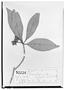 Field Museum photo negatives collection; Wien specimen of Ternstroemia sylvatica Schltdl. & Cham., MEXICO, C. J. W. Schiede 455, Syntype, W