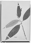 Field Museum photo negatives collection; Wien specimen of Freziera chrysophylla Bonpl., COLOMBIA, A. J. A. Bonpland, Isotype, W