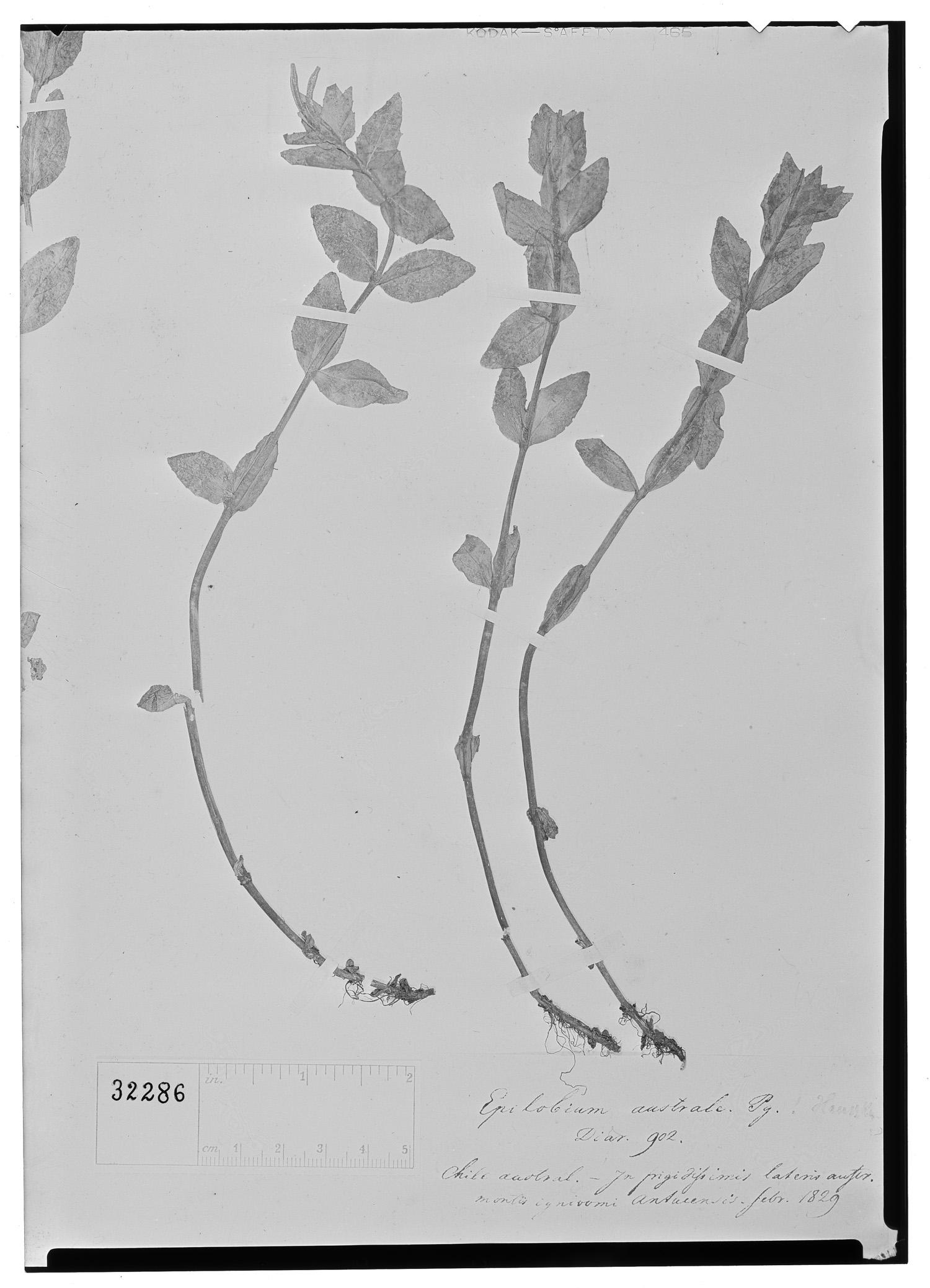 Epilobium australe image