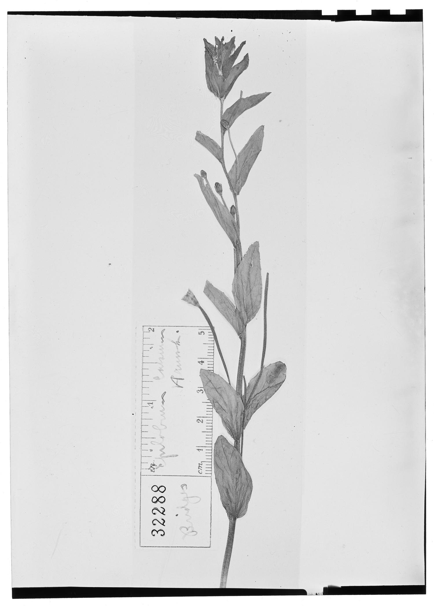 Epilobium denticulatum image