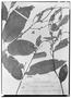 Field Museum photo negatives collection; Wien specimen of Securidaca longifolia Poepp., BRAZIL, E. F. Poeppig 2692, Type [status unknown], W
