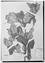 Field Museum photo negatives collection; Wien specimen of Banisteriopsis confusa B. Gates, BRAZIL, P. C. D. Clausen 66a, W