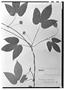Field Museum photo negatives collection; Wien specimen of Dalechampia scandens var. heterodonta Müll. Arg., BRAZIL, Tamberlik, Type [status unknown], W