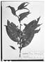 Field Museum photo negatives collection; Wien specimen of Ilex tarapotina Loes., PERU, R. Spruce 4399, Type [status unknown], W