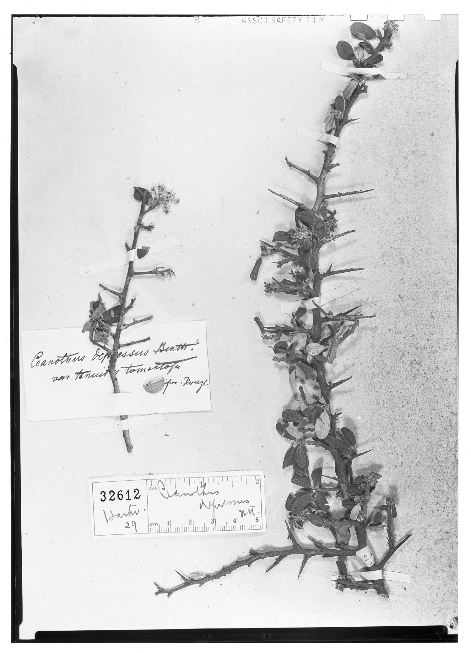 Ceanothus depressus image