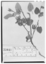 Field Museum photo negatives collection; Wien specimen of Sida physaloides C. Presl, MEXICO, T. P. X. Haenke, Type [status unknown], W