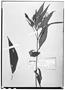 Field Museum photo negatives collection; Wien specimen of Ruellia jussieuoides Schltdl. & Cham., MEXICO, C. J. W. Schiede 1164, Type [status unknown], W