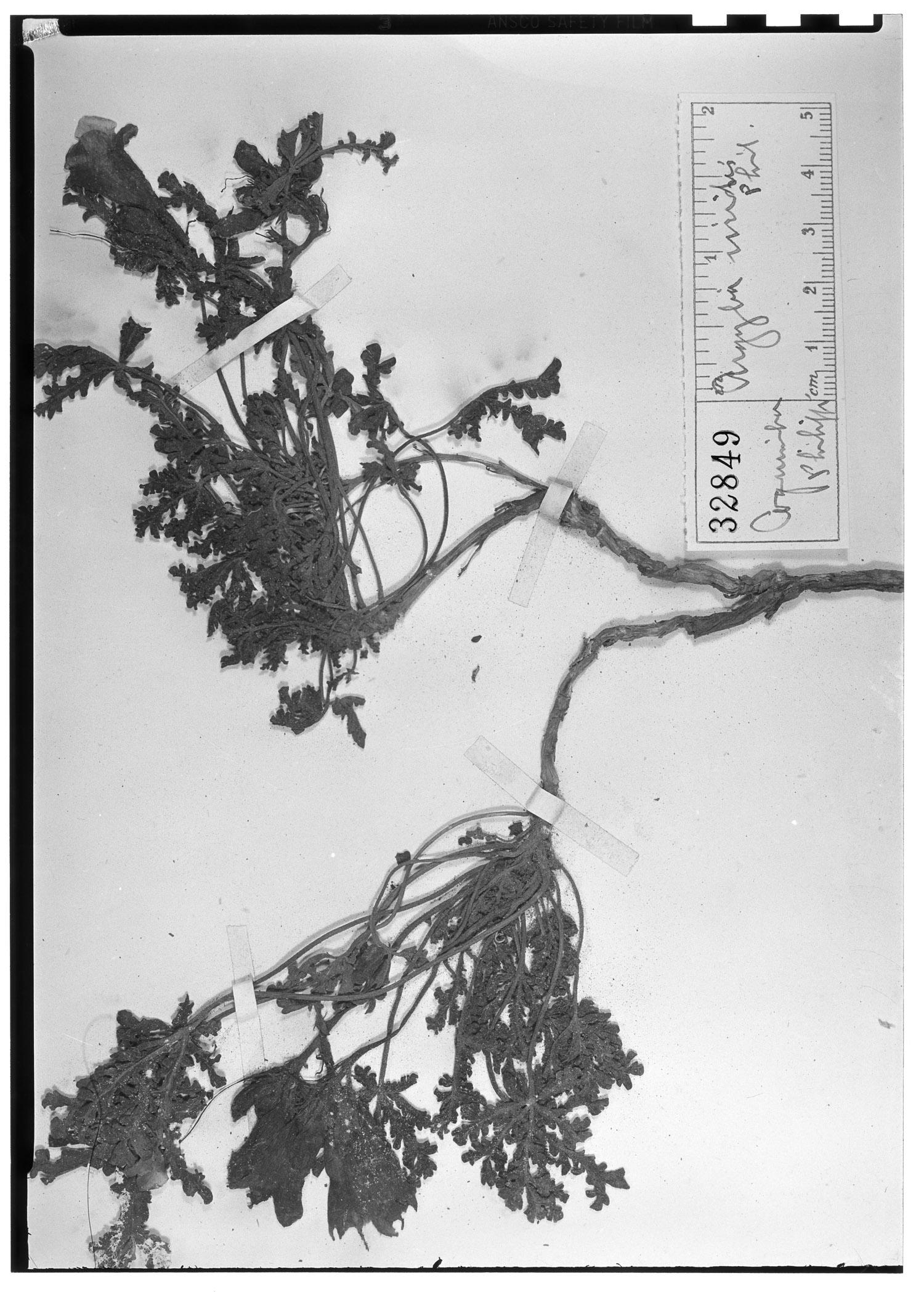 Argylia viridis image