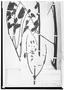 Field Museum photo negatives collection; Wien specimen of Jacaranda macrocarpa Bureau & K. Schum., BRAZIL, R. Spruce 2571, Isolectotype, W