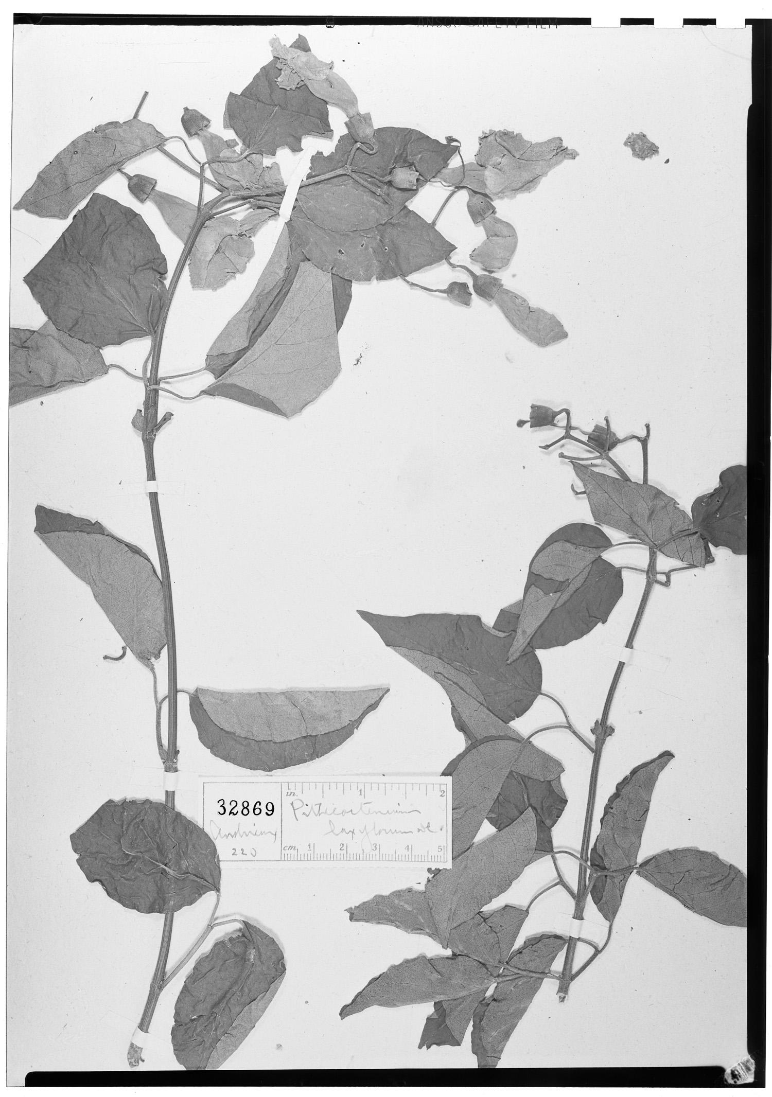 Amphilophium laxiflorum image