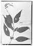 Field Museum photo negatives collection; Wien specimen of Salvia cinnabarina M. Martens & Galeotti, MEXICO, H. G. Galeotti 655, Type [status unknown], W