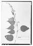 Field Museum photo negatives collection; Wien specimen of Salvia filipes Benth., MEXICO, K. T. Hartweg 375, Type [status unknown], W