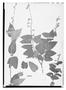 Field Museum photo negatives collection; Wien specimen of Salvia mucidifolia Epling, BRAZIL, Tamberlik, Type [status unknown], W