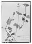 Field Museum photo negatives collection; Wien specimen of Salvia oblongifolia M. Martens & Galeotti, MEXICO, H. G. Galeotti 646, Type [status unknown], W
