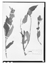 Field Museum photo negatives collection; Wien specimen of Salvia wagneriana Pol., COSTA RICA, H. Polakowsky 387, Type [status unknown], W