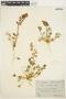 Lupinus odoratus image