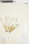 Agrostis bacillata image