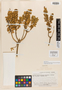 Monnina pseudoaestuans Ferreyra & Wurdack, ECUADOR, W. H. Camp E-4866, Isotype, F