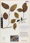 Anisophyllea ismailii J. A. McDonald, INDONESIA, J. A. McDonald 3500, Isotype, F