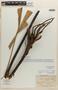 Licuala hexasepala L. F. Gagnep., VIETNAM, E. Poilane 5059, Isolectotype, F