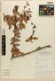 Orthaea bullata N. R. Salinas & Pedraza, Peru, D. N. Smith 2687, Isotype, F