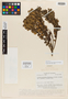 Monnina myrtoides Ferreyra & Chodat, ECUADOR, W. H. Camp E-4825, Isotype, F
