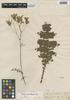 Perezia prenanthoides image