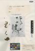 Plazia cheiranthifolia Wedd., CHILE, C. Gay s.n., Isotype, F