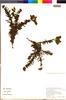 Heliotropium taltalense image
