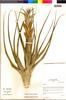 Flora of the Lomas Formations: Tillandsia latifolia Meyen, Peru, I. M. Sánchez Vega 3863, F