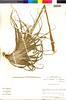 Flora of the Lomas Formations: Tillandsia geissei Phil., Chile, M. O. Dillon 5781, F