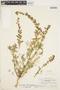 Lupinus sparsiflorus image