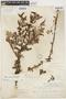 Salix bonplandiana image