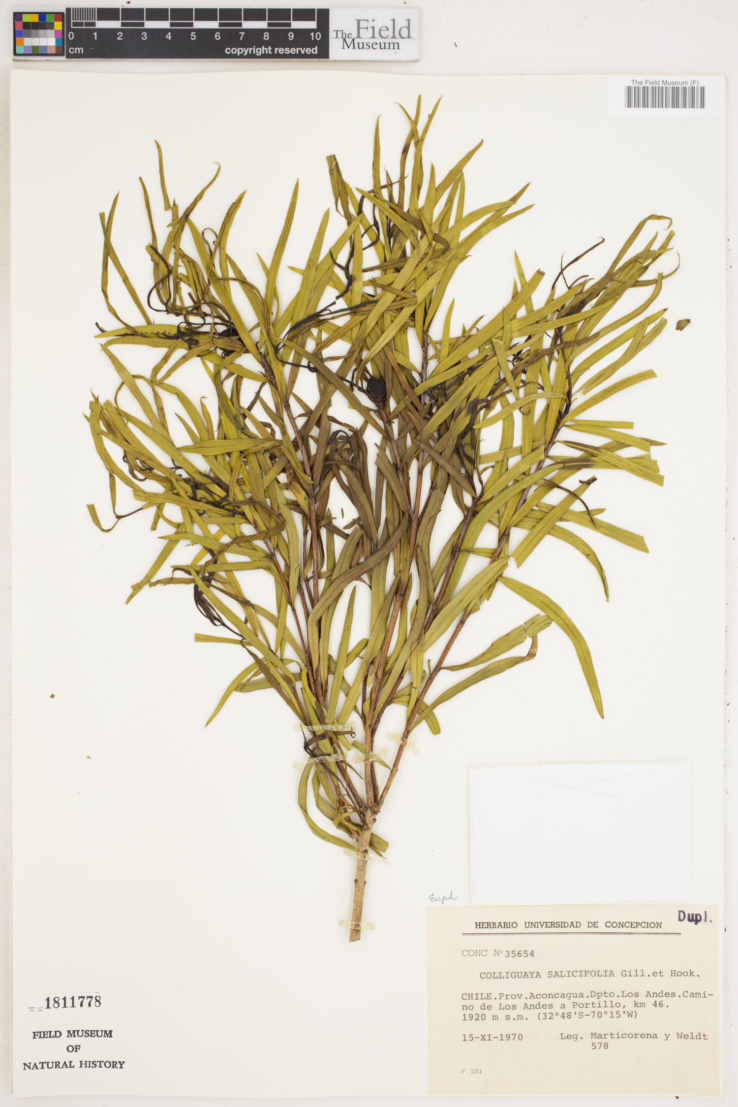 Colliguaja salicifolia image