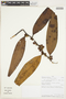 Freziera chrysophylla Bonpl., PERU, F