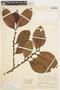 Freziera calophylla Triana & Planch., COLOMBIA, F