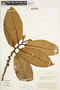 Freziera calophylla Triana & Planch., ECUADOR, F