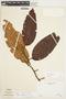 Freziera calophylla Triana & Planch., VENEZUELA, F