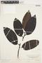 Freziera calophylla Triana & Planch., F