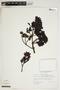 Ternstroemia meridionalis Mutis ex L. f., Venezuela, J. L. Luteyn 5308, F