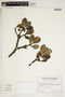 Ternstroemia meridionalis Mutis ex L. f., Ecuador, G. Harling 23681, F