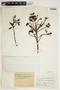 Ternstroemia meridionalis Mutis ex L. f., COLOMBIA, F