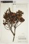 Ternstroemia meridionalis Mutis ex L. f., VENEZUELA, F